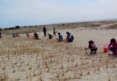 Beach Grass Volunteers Wanted This Weekend